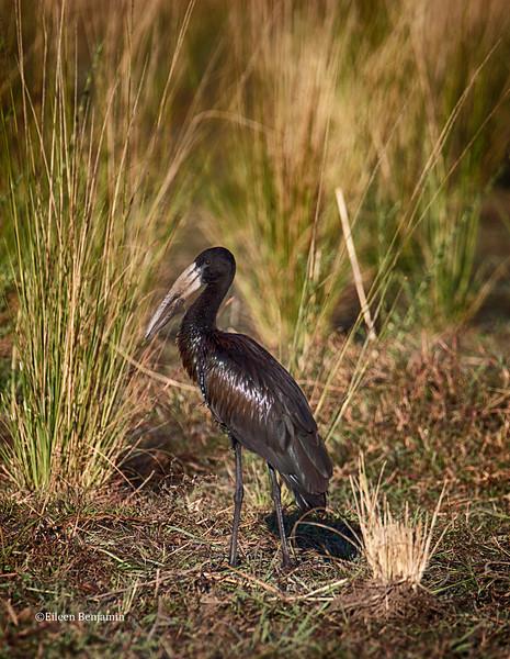 African openbill