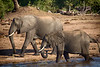Elephants drinking in the Chobe River