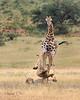 Giraffe Kick-8982-2
