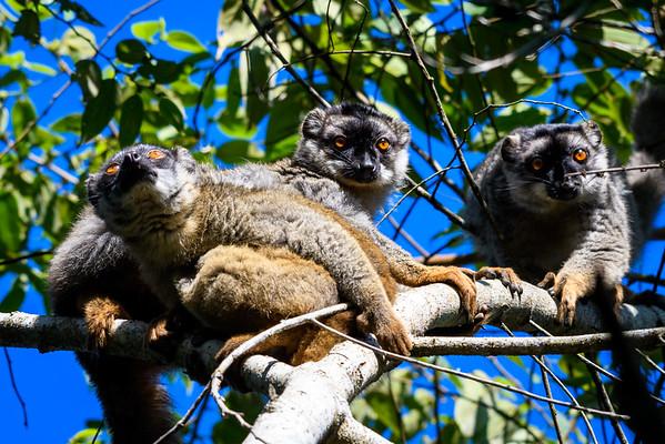 Rufus brown lemurs, Eastern Madagascar