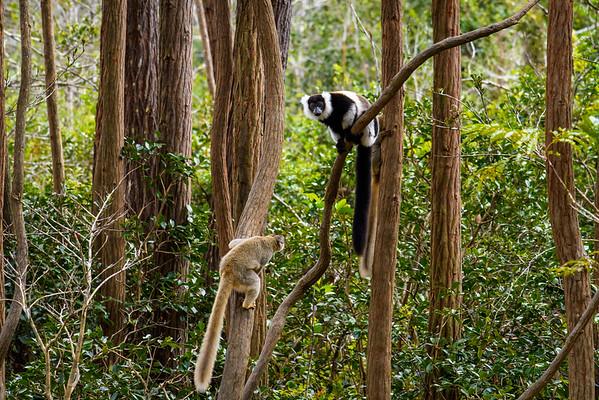 Black & White Ruffed Lemur, Antasibe Madagascar