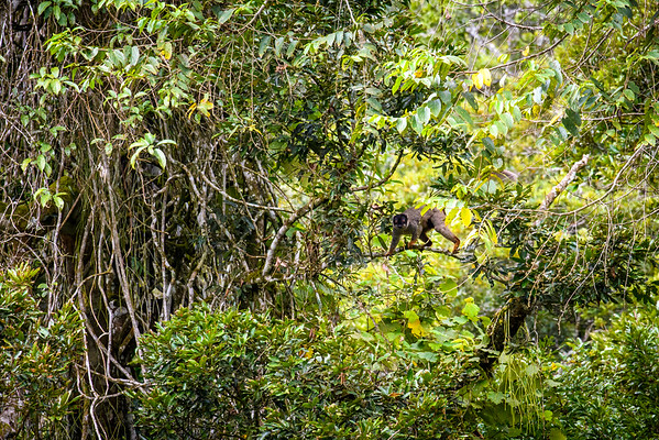 Brown Lemur, moving through canopy, Madagascar