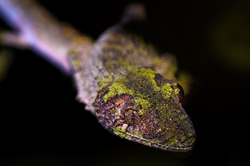 Leaf-tailed Gecko, Madagascar