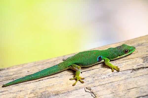 Peacock Gecko, Antasibe Madagascar