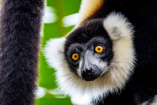 Black and White Ruffed Lemur, Antasibe Madagascar