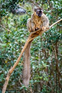 Rufus Brown Lemur, Antasibe Madagascar