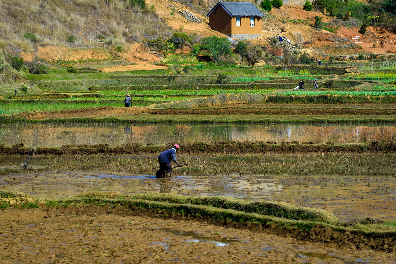 Rice Field Cultivation, near Antananarivo Madagascar