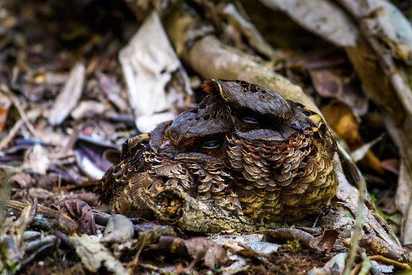 Colored Nightjars, Antasibe Madagascar