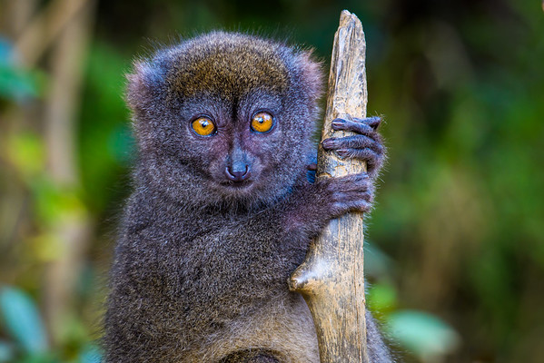 Eastern Bamboo Lemur, Antasibe Madagascar