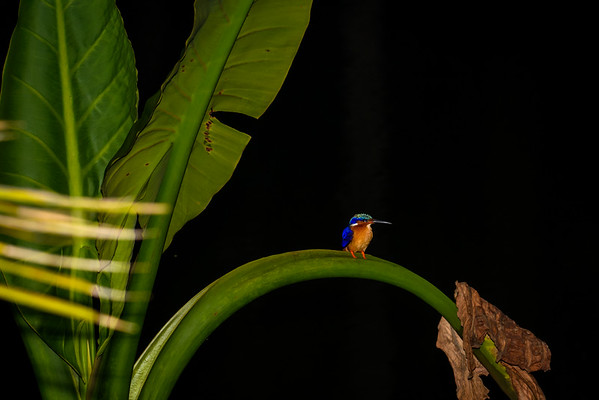 Madagascar Kingfisher, Vakona Forest Lodge, Madagascar