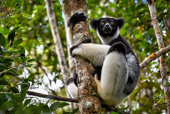 Indri, Antasibe Madagascar