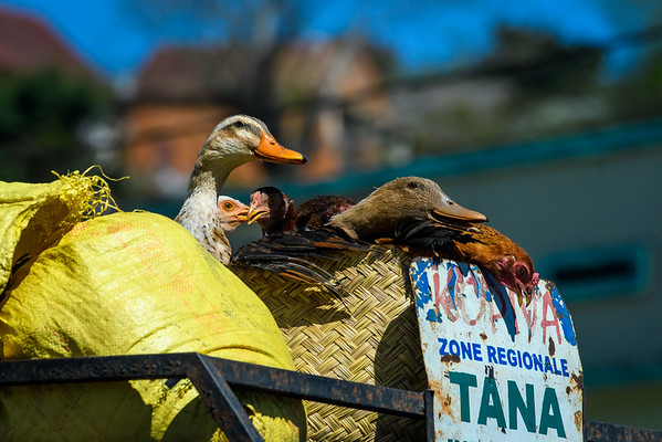 Ducks and Chickens in transport to Antananarivo, Madagascar