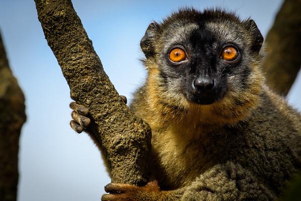 Rufus Brown Lemur, Antasibe, Madagascar