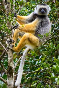 Diademed Sifaka, Antasibe Madagascar