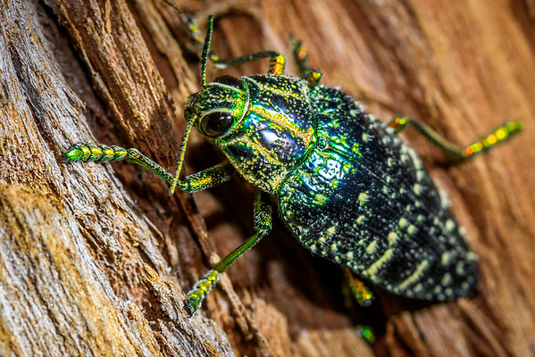 Jewel beetle, Madagascar
