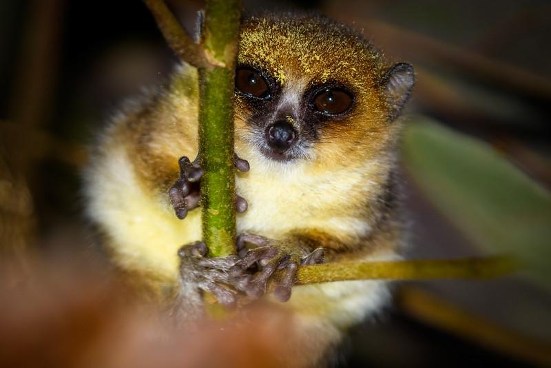 Mouse Lemur, Antasibe Madagascar