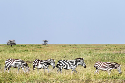 Line of Zebras