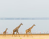 Three Giraffes
