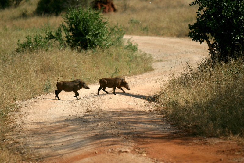 Warthogs<br /> Tsavo West National Park, Kenya
