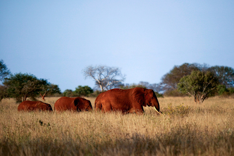 A family of red elephants (caused by the red soil) walks through the brush at sunset in Tsavo National Park in Kenya.