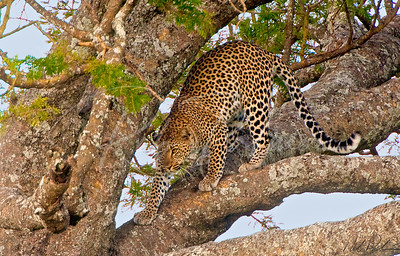 Leopard in Acacia Tree