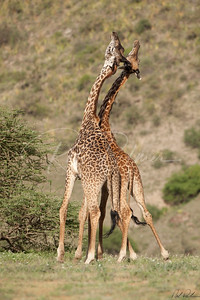Young Giraffes Sparring