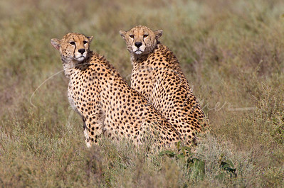Two Adult Male Cheetah's