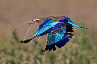 Lilac Breasted Roller, Tanzania, Africa
