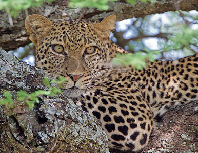 Female Leopard in Acacia Tree