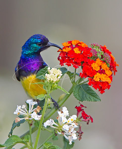 Variable Sunbird, Tanzania, Africa