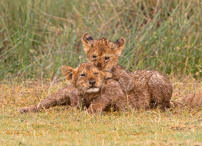 Lion Cubs, chewing on a tasty ear.
