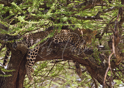 Leopard hanging out in an a acacia tree.