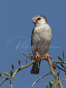 An African Pygmy Falcon, one of the smallest of all the falcons.  Tanzania, Africa.