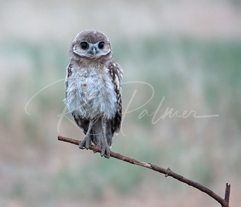 Burrowing owlet just before sunrise