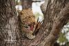 Leopard feasting on a duiker