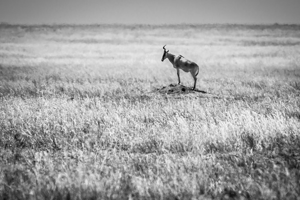 Lone Heartbeast, Central Serengeti