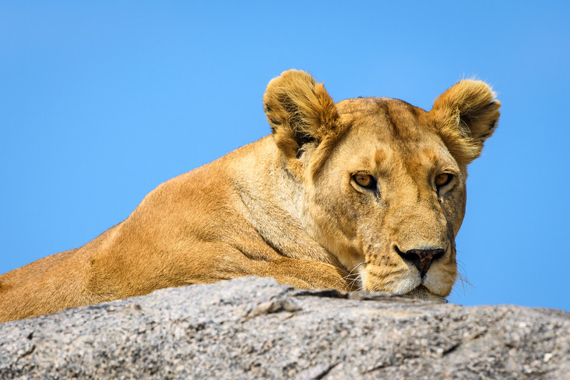 Lioness on Kopje, Central Serengeti
