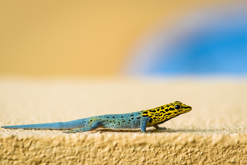 Dwarf yellow-headed gecko, Zanzibar