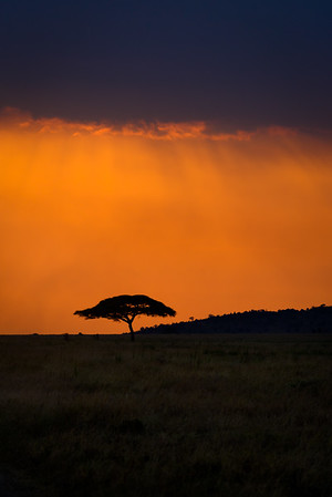 Flat Top Acacia at Sunset, Central Serengeti