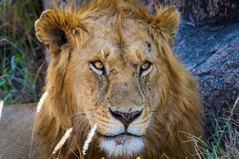 Male lion beneath Kopje, Central Serengeti