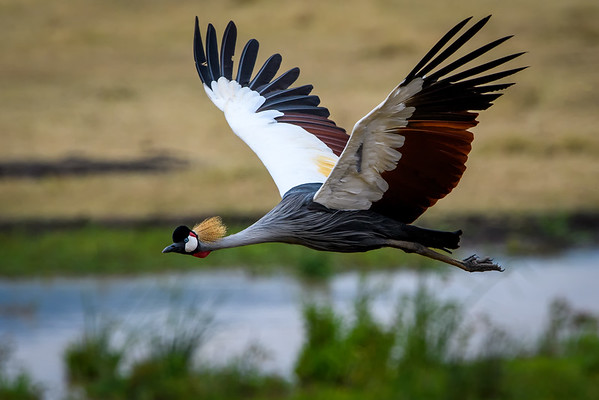 Grey Crowned Crane in flight, Ngorongoro Crater