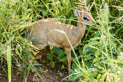 Dik Dik (smallest antelope)