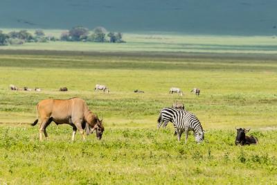 Eland (largest antelope)