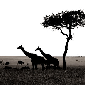 Silhouetted Giraffes