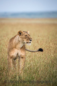 Lioness Hunter
