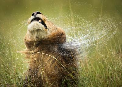 Shaking off the rain