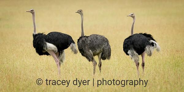 Trio of Ostrich