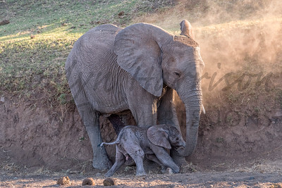 African Elephant - Mother with Newborn Calf