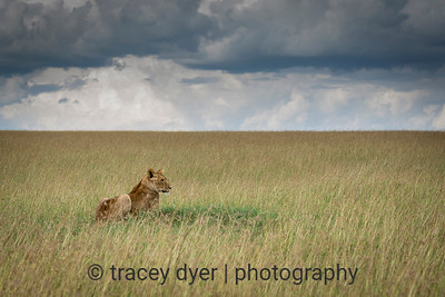 Lioness and an endless sky