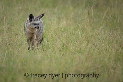 Bat-eared Fox in the long grasses